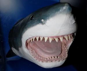 ホホジロザメ頭部剥製1